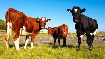 Free stock footage pack: Cows on a sunny summer day